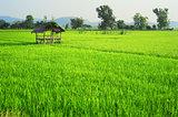 Thailand's rise fields