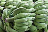 Bunches of Green Bananas on Stalk