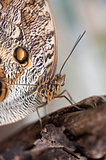 Owl butterfly Caligo Eurilochus