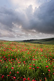 Vibrant poppy fields under moody dramatic sky