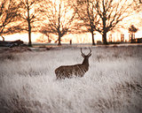 Red deer stag watches sunrise on frosty Winter morning