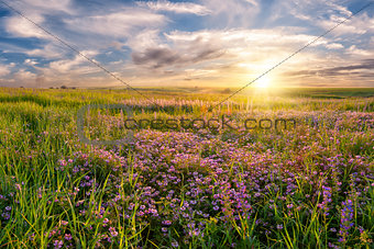 Flower meadow on sunrise