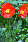 Red poppy flowers closeup