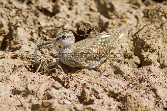 Wood Sandpiper Perched On The Ground