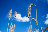 Rye stalks