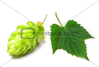 Blossoming hop and leaf on a white background