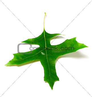 Green oak leaf (Quercus palustris)