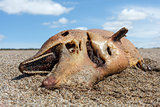 Dead dolphin  lies on the coast