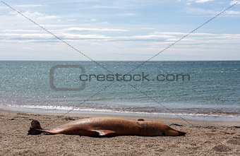 Dead Bottlenose dolphin  lies on the coast