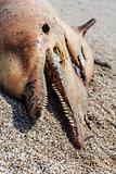 Dead  dolphin.