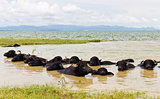 Water Buffalo herds soak water