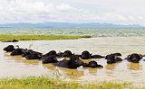 Water Buffalo herds soak water