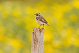 Whinchat On Yellow Background