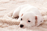 Puppy lying on carpet