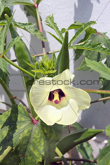 Okra Flower and Seed Pods