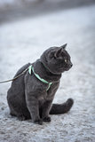 portrait of russian blue cat outdoor