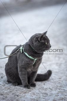 portrait of russian blue cat outdoor
