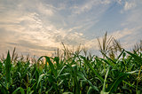 Corn farm
