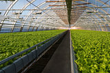 Greenhouse lettuce