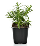 Rosemary Herb