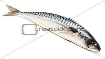 Mackerel, isolated