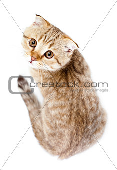 Scottish kitten fold isolated top view