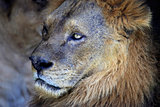 Portrait of lion.