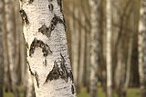 Birch tree forest, natural background, birchwood
