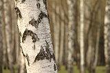 Birch tree forest, natural background, birchwood