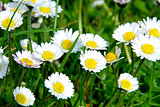 Green Grass Wild Daisy Flowers 