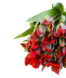 pile fresh of red parrot tulips