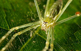green spider