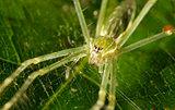 green spider