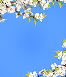 Blue sky and flower of cherry