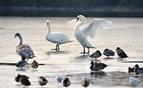 Mute swans and ducks on a frozen lake.