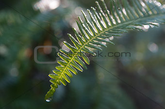 Morning - Raindrop on Fern