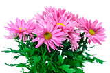 pink chrysanthemums