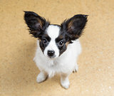 Papillon puppy looking at camera