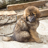 Tibetan Mastiff puppy