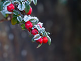Red Berries With Frost