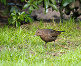 Blackbird Looking for Worms