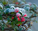 Winter Berries and Frost