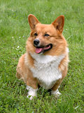 Welsh Corgi Cardigan dog