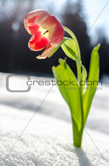 Single tulip flower and a snow