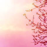 Apple tree blossom on pink sunset