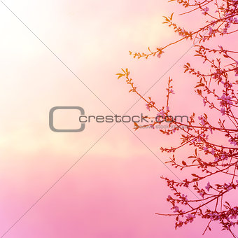 Apple tree blossom on pink sunset