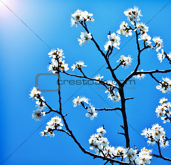 Blooming tree branch over blue sky