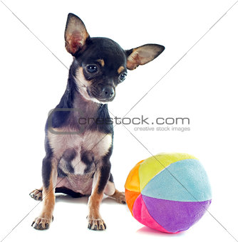 puppy chihuahua and ball