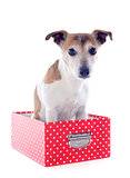 jack russel terrier in a box