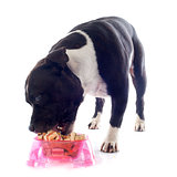 staffordshire bull terrier eating